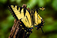 Injured Swallowtail Butterfly