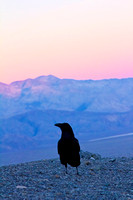 Death Valley Raven