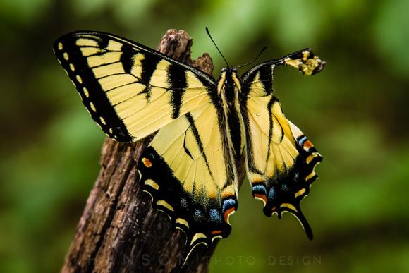 Injured Swallowtail Erfly